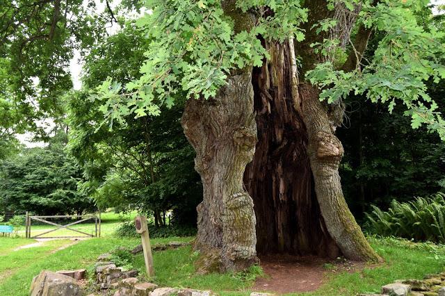 Sveriges ældste egetræ