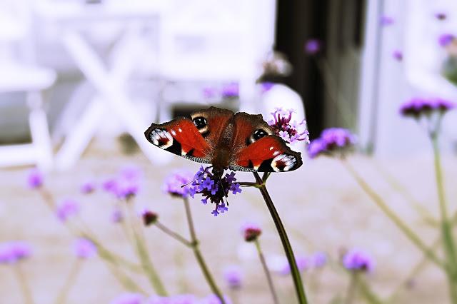 Kæmpeverbena og sommerfugl