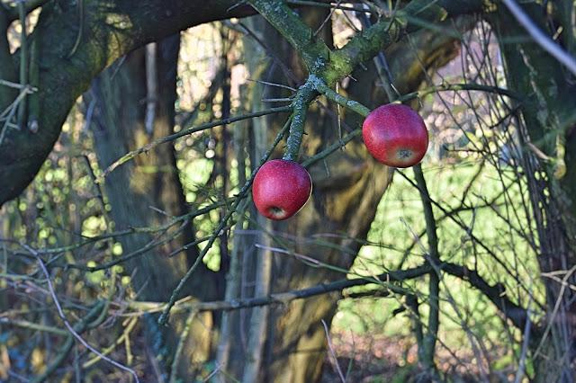 Æbletræer til fuglene