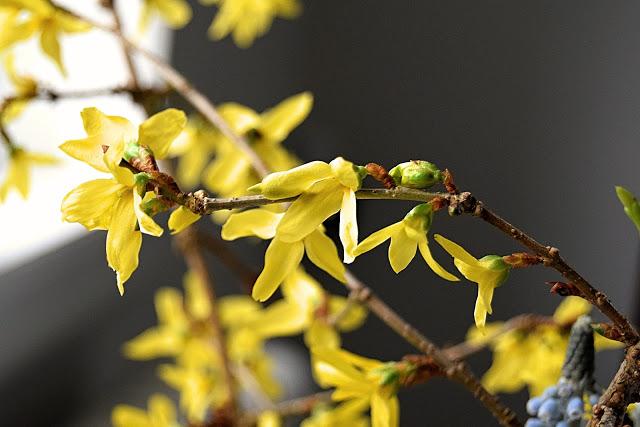 Drivning af Forsythia grene