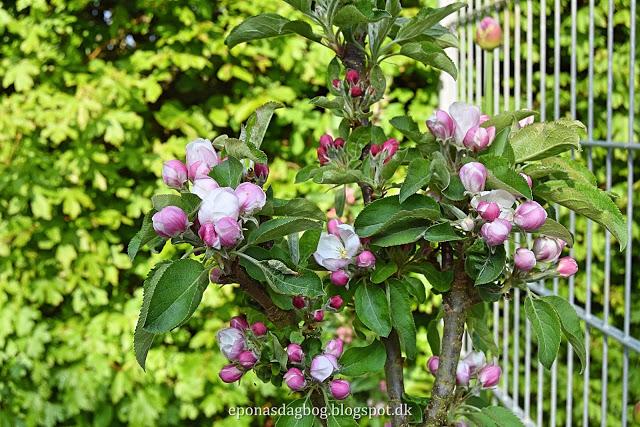 Søjle æbletræ