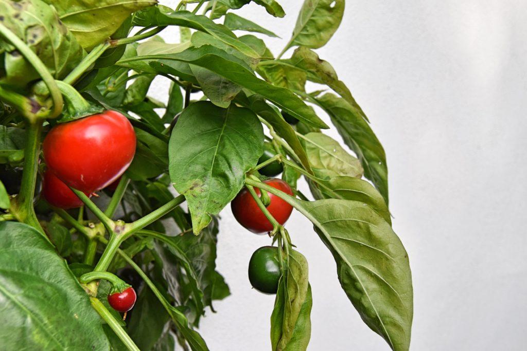 Chiliplante
