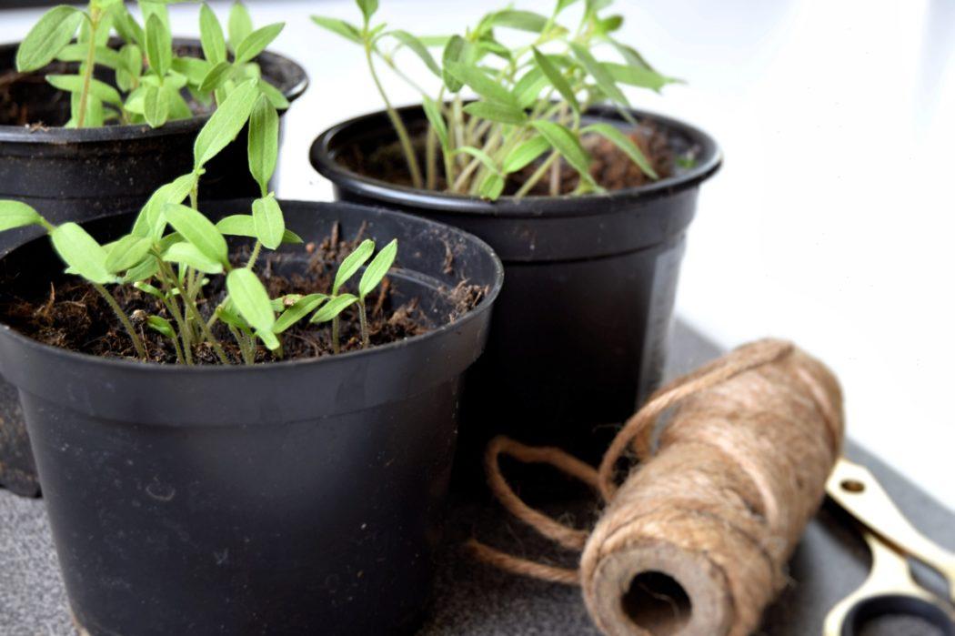 Hjemmeavlet tomatplante